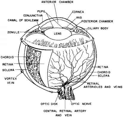 Vorticella Labeled Diagram