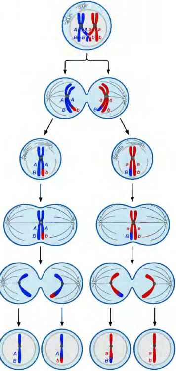 Crossing Over Meiosis
