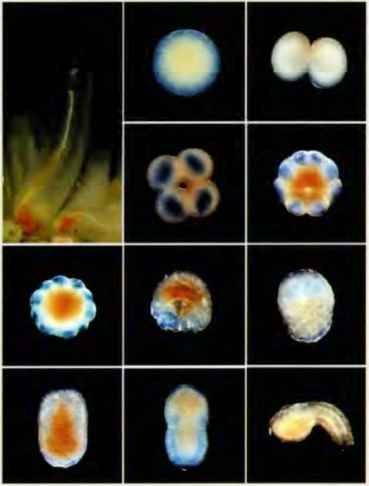 Sea Squirt Development