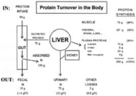 Proteins The Body