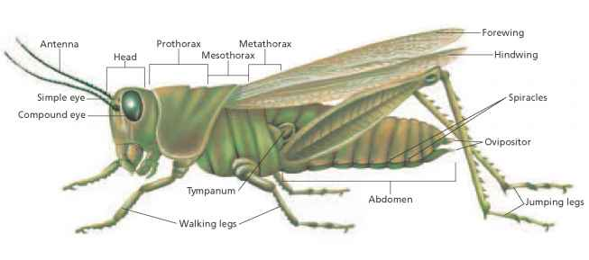 The Grasshopper - Critical Thinking - ALPF Medical Research