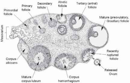 cell a phase Mature of