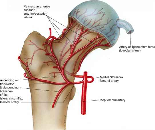 Vascular Supply To The Femoral Head Femoral Head