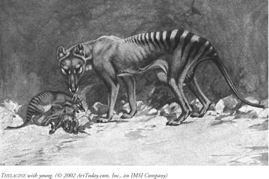 Thylacine Sightings