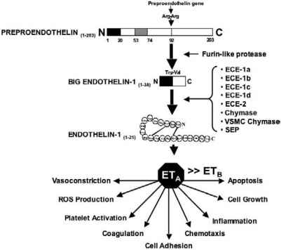 Endothelin