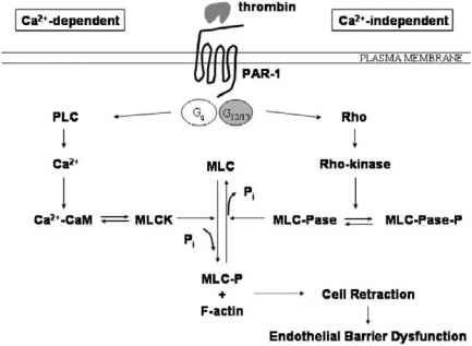 Calcium Endothelial Cells
