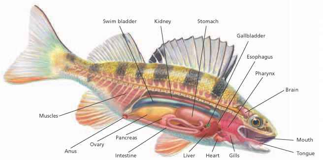 What Bony Fish Fins Called