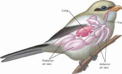 Urinary System Birds