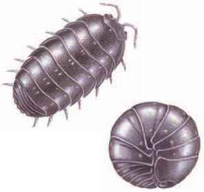 Sow Bugs Look Alike