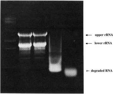 Checking Rna Integrity Agarose Gel