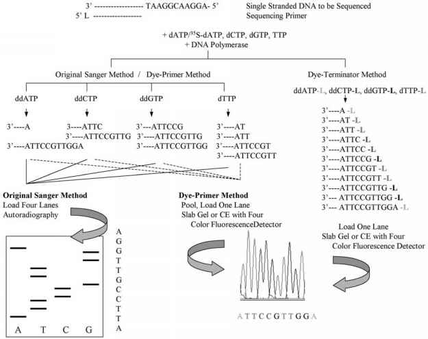 Sanger Method Dna Sequencing