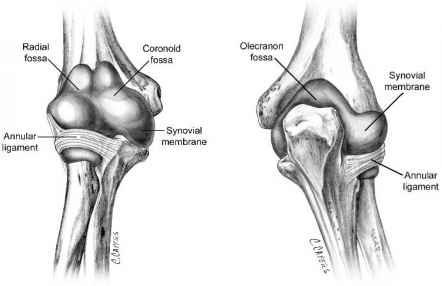 The Elbow Capsule and Synovial Membrane - Radial Head