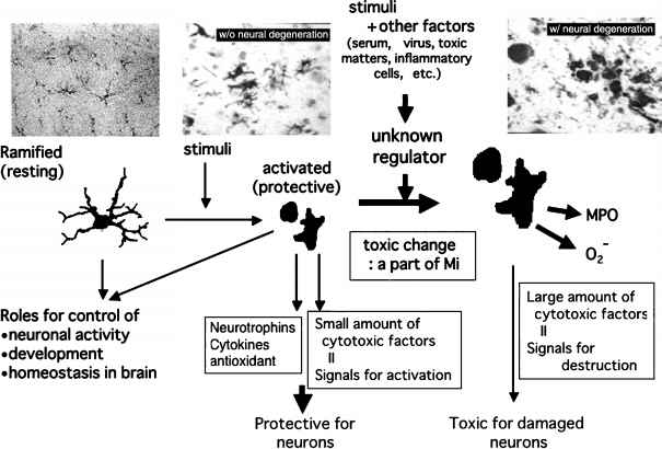 Microglia Isolation